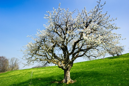 Blossoming tree in spring on rural meadow photo