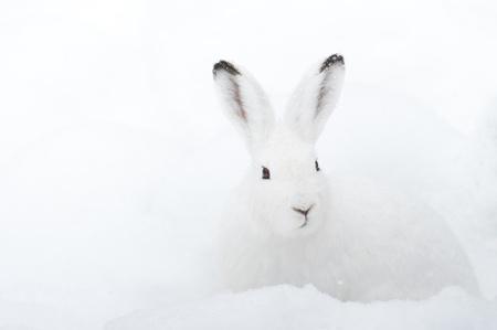 liebre: Liebre de las Montañas (lat. Lepus timidus) con la piel blanca sentado en la nieve en invierno