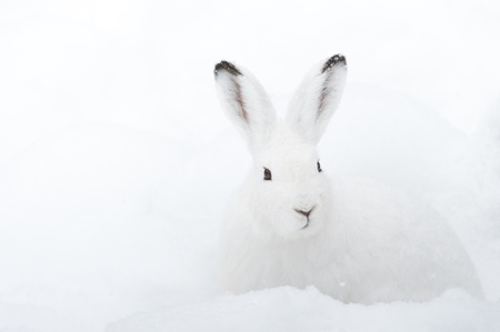 Mountain Hare (lat. Lepus timidus) with white fur sitting in snow in winter Stock Photo