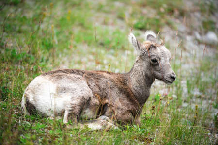 canadensis: cute young bighorn sheep (lat. (Ovis canadensis)