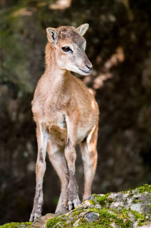 nippon: young sika deer fawn (lat. Cervus nippon) standing in the woods.