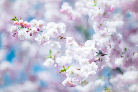 pink cherry: dreamy cherry blossom in spring with low dof Stock Photo