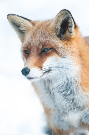 red fox (lat. vulpes vulpes) in winter, captive 版權商用圖片