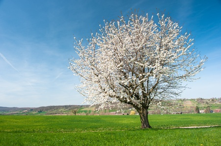 Blossoming tree with green meadow in spring photo