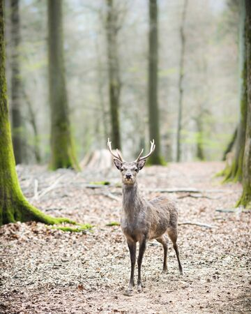 young male sika deer (lat. cervus nippon) with antlers standing in the woods, low dof Stock Photo - 13255407