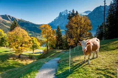 Hiking trail on alm with cows above Grindelwald in autumn, Switzerland