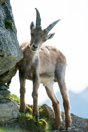 young alpine ibex (lat. Capra ibex) on Brienzer Rothorn, Switzerland photo