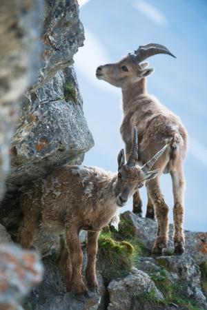 Zwei junge Steinbock (lat. Capra ibex) am Brienzer Rothorn, Schweiz