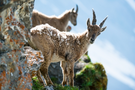 Two young alpine ibex (lat. Capra ibex) on Brienzer Rothorn, Switzerland photo