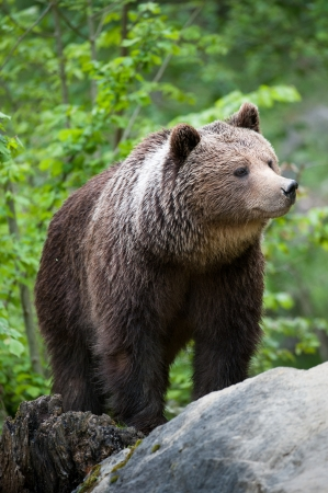 brown bear (lat. ursus arctos) stainding in the forest photo