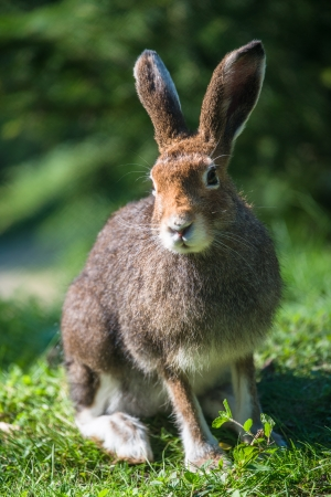 Mountain Hare (lat. Lepus timidus) with brown hair in summer Stock Photo