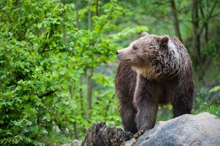 bruine beer (lat. ursusarctos) stainding in het bos