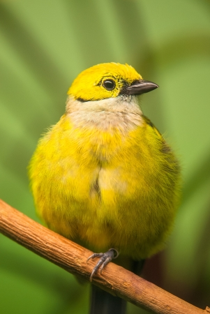 leiothrix: Red-billed Leiothrix (lat. Leiothrix lutea) sitting with green background Stock Photo