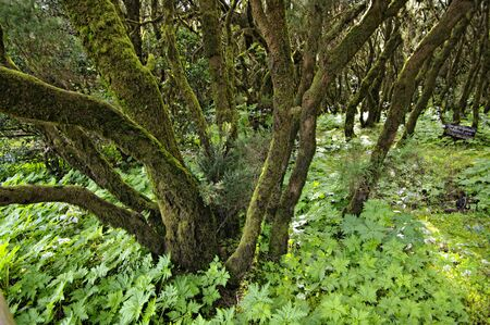 La gomera forest.  island La Gomera, Canary islands, Spain. Stock Photo - 8661564