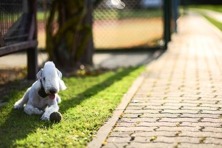 Bedlington Terrier on the Backyard Grass Spot.  Archivio Fotografico