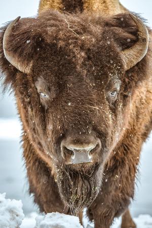 american bison: American Bison Portrait. American Buffalo Closeup. Colorado, United States. Stock Photo