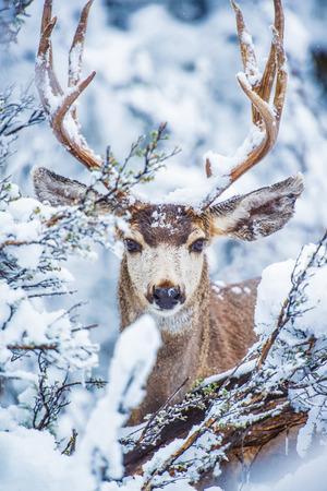 Arizona Mule Deer in Winter. Northern Arizona Kaibab National Forest, Grand Canyon Area. United States. Standard-Bild