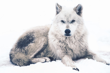 lobo: Acostado Lobo �rtico. Descansando White Wolf. Vida Silvestre de Canad�.