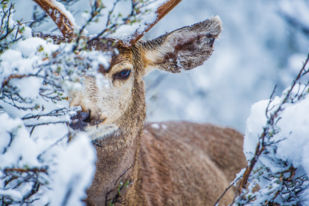 Mule Deer in Winter Forest Closeup Photo. North Arizona, United States. Stock Photo