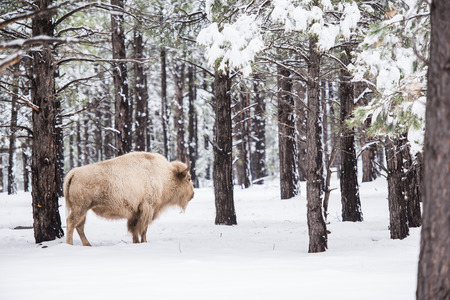 american bison: White Buffalo in Forest. Northern Arizona States. USA.