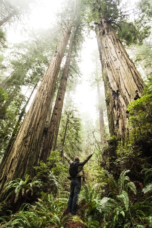 and magnificent: Magnificent California Redwood Forest. Hiker and the Trees.