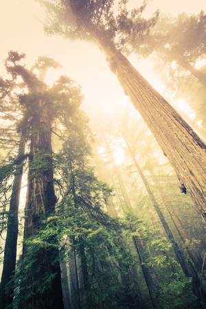 redwood: Forest of the Giants. California Redwood Forest. United States. Stock Photo