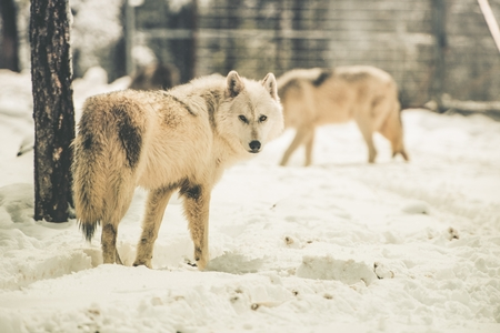 carnivora: White Wolfs Pack in Snowy Forest of Northern Lands. Stock Photo