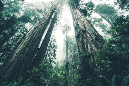 The Giant Forest of Mystery. Deep Redwood Forest Wilderness. California, USA. Archivio Fotografico