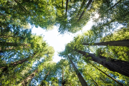 surrounding: The Forest Above. Surrounding Redwood Forest Concept Photo. California Redwood. Stock Photo