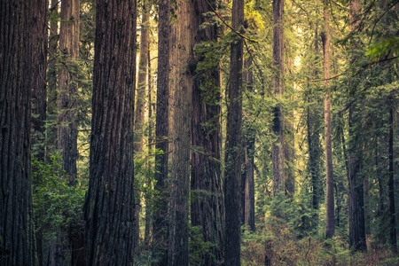 Redwood Mystery Forest, California, United States. Redwood State Park. Archivio Fotografico