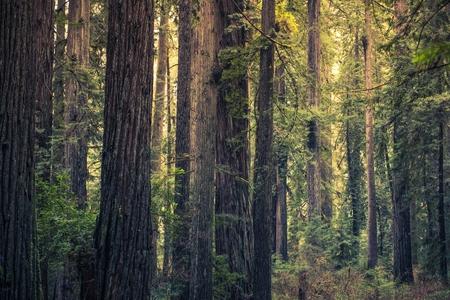 Redwood Mystery Forest, California, United States. Redwood State Park. Standard-Bild