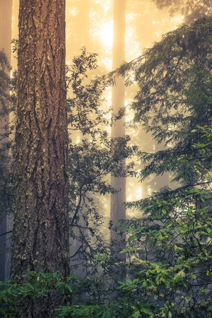 pine forest: Wild Redwood Forest Covered by Coastal Fog. Redwood National Park, California, United States. Stock Photo