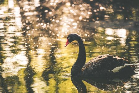 Black Swan Lake. Beautiful Black Swan on the Lake. Urban Wildlife