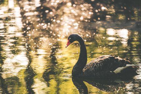 cisnes: Negro lago de los cisnes. Hermoso cisne Negro en el lago. fauna urbana