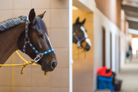 stud: Horses in the Stable Boxes. Horses Stud Farm Theme. Stock Photo