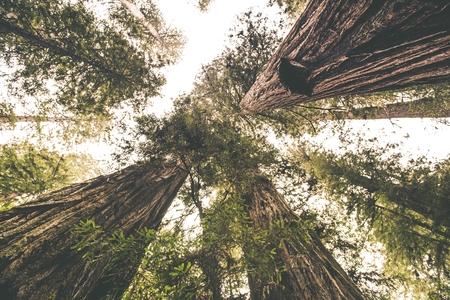 레드 우드 장소. 경치 레드 우드 숲입니다. 가장 높은 나무입니다.