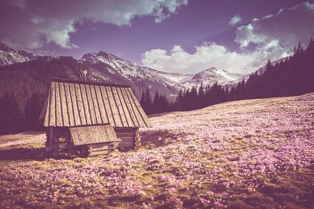 saalfelden: Old Wooden Mountain Cabin surrounded by Crocus Meadow. Tatra Mountains, Poland. Stock Photo