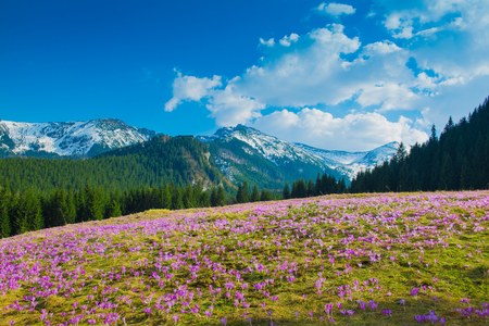 Crocuses meadow and the Mountains. Spring theme. Stock Photo