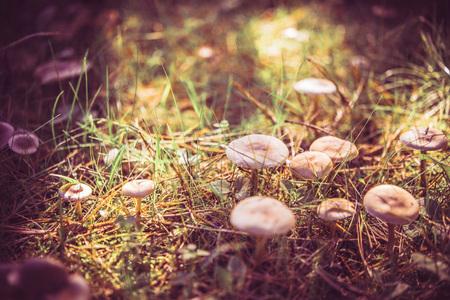 Mushrooms growing in grass. Gathering mushrooms. Mushroom photo.