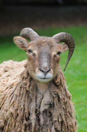 head of a Soay Sheep with long fleece and horns