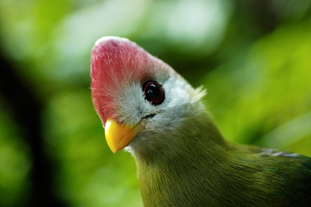 Red-crested Turaco  (landscape)                         Stock Photo