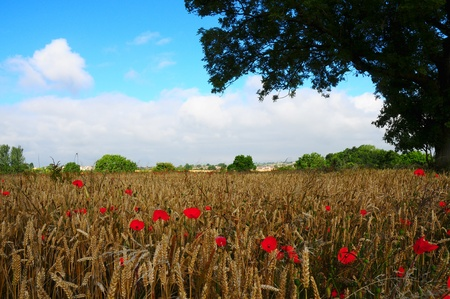 Red poppies under a tree in a cornfield