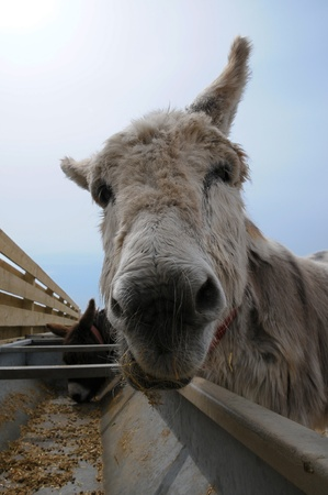 White donkey feeding from a trough  Stock Photo