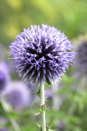 Round purple Flower head