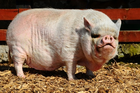 potbellied: Vietnamese Pot-bellied pig