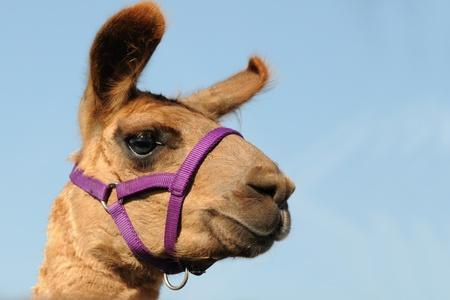 Llama Lookout Stock Photo - 10898428