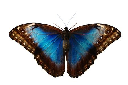 Blue butterfly (morpho peleides)