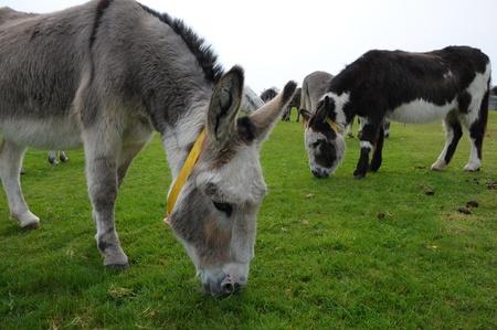 Donkey field Stock Photo