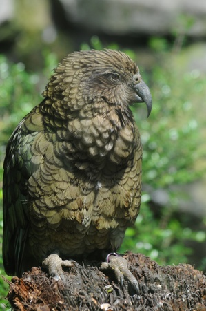 Green Kea parrot sat on tree stump
