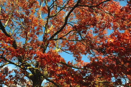 Looking up through a tree in autumn (fall) against a clear blue sky Stock Photo